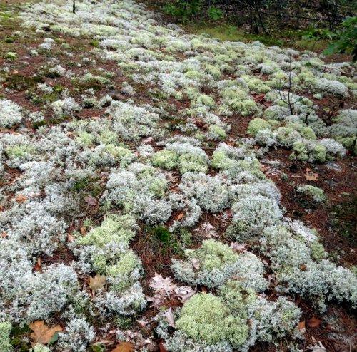 16-reindeer-lichens