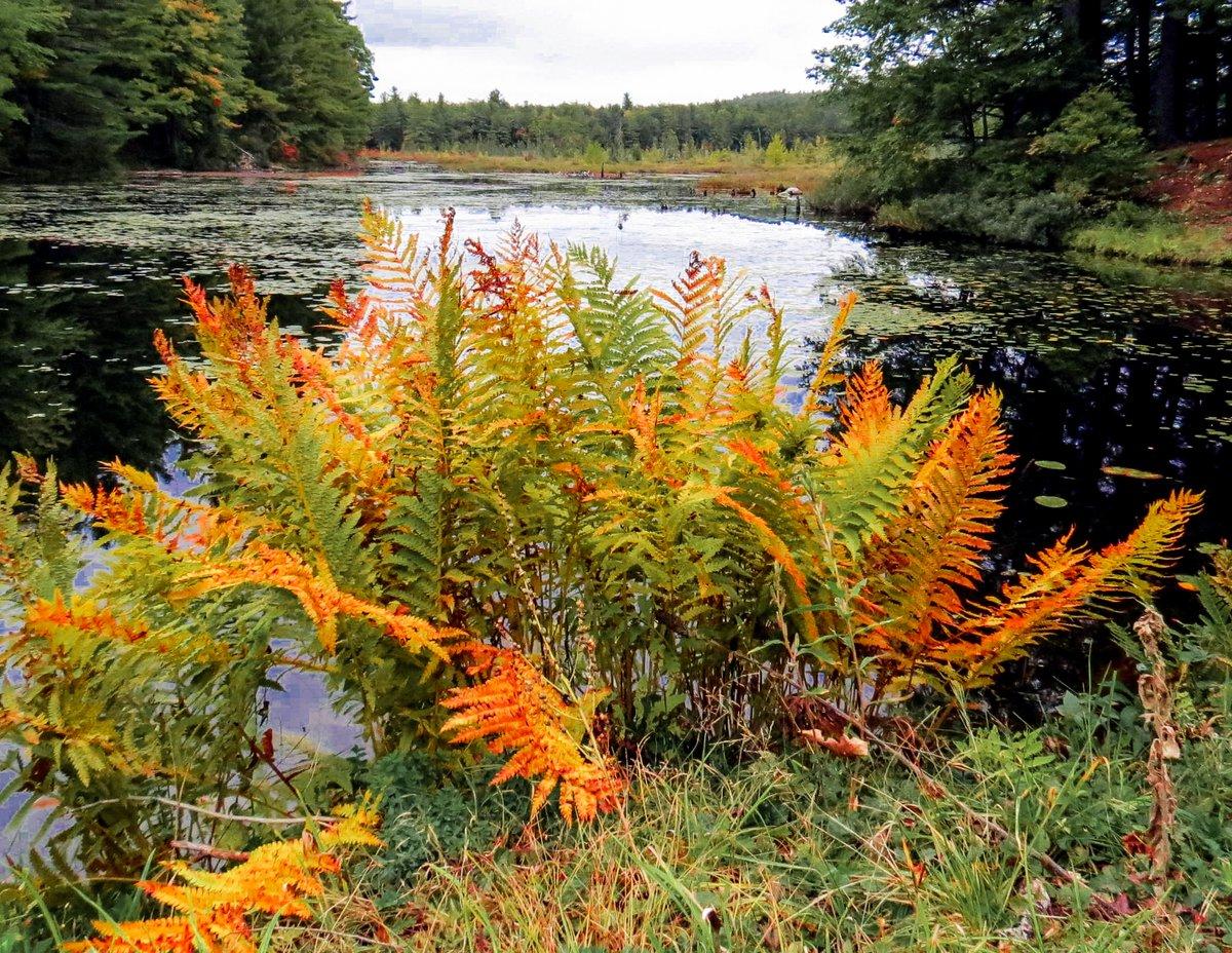 17-cinnamon-ferns