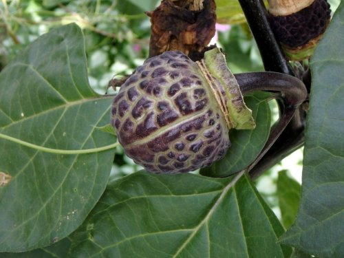 17-datura-seed-pod