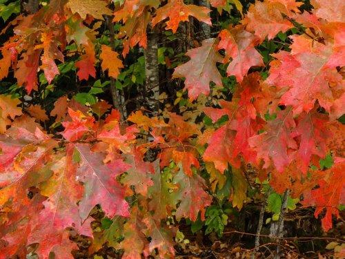 19-oak-leaves