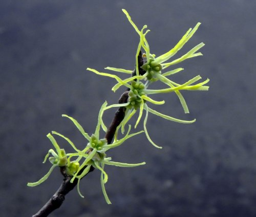 20-witch-hazel-blossoms