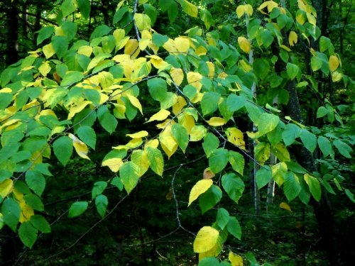 4-black-birch