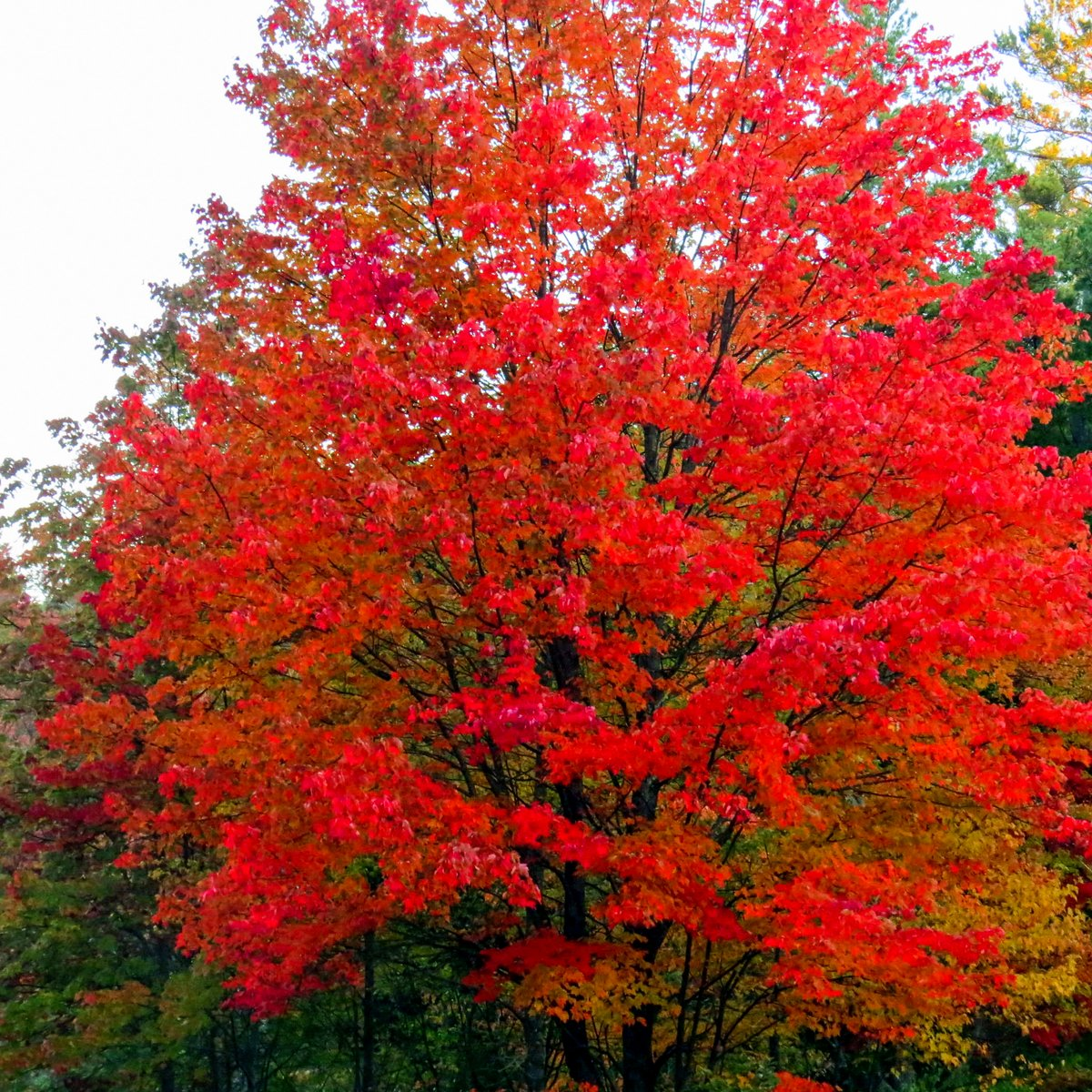 6-red-maple