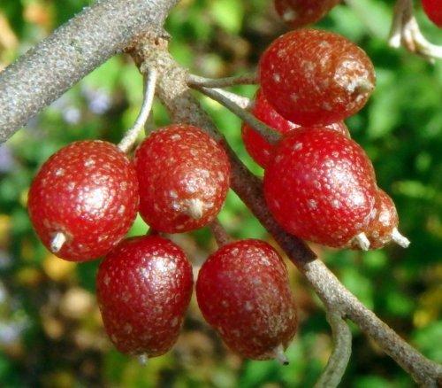 8-autumn-olive