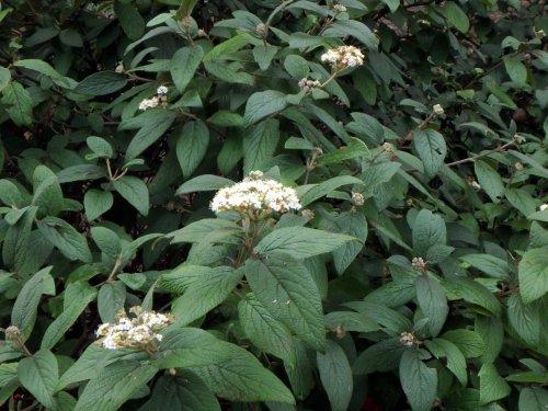8-viburnum-blossoms