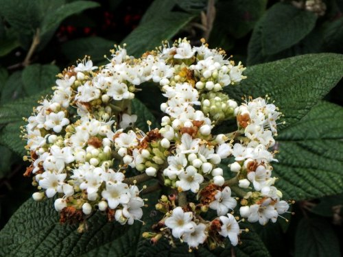 9-viburnum-blossoms