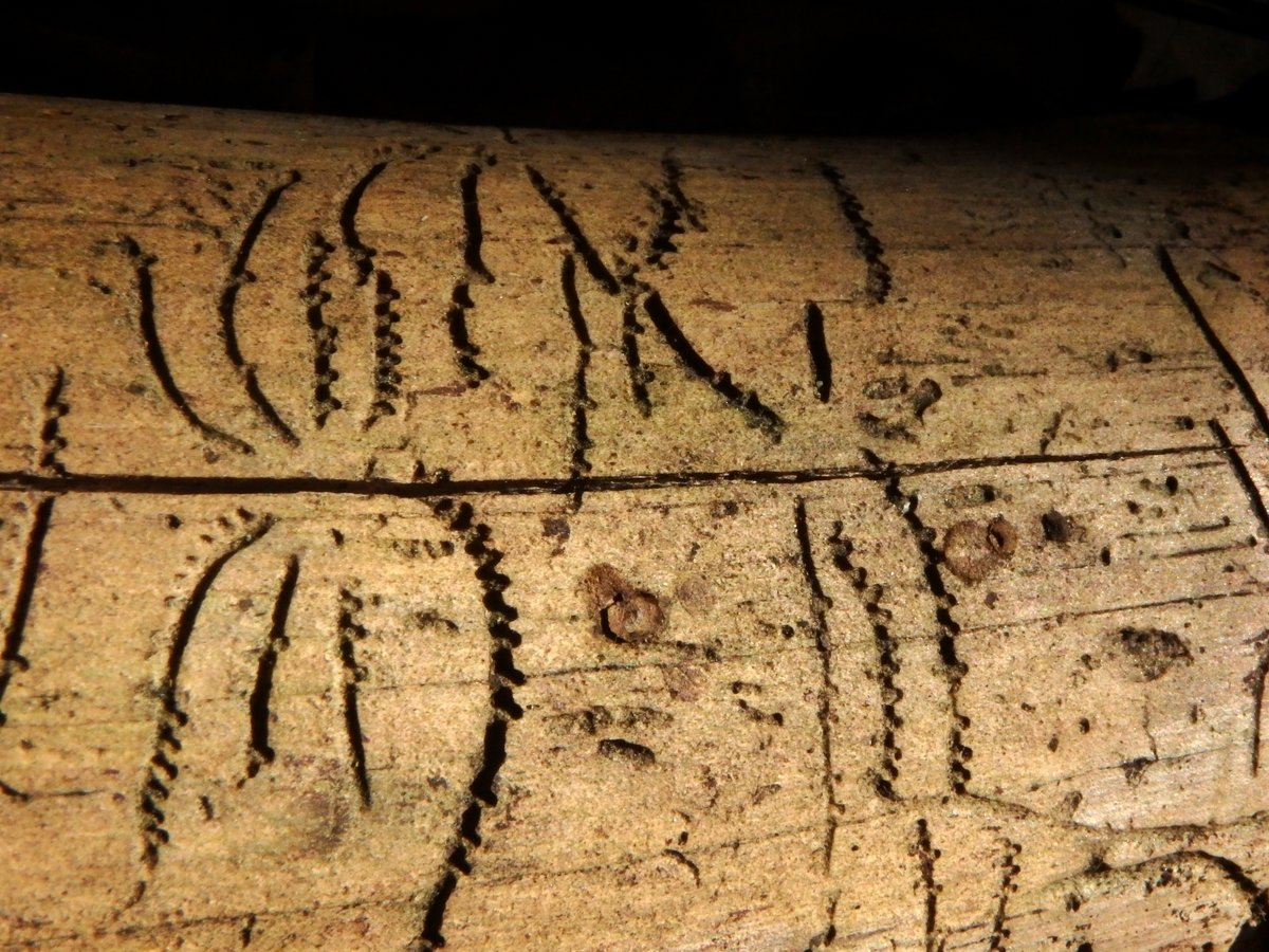 10-bark-beetle-markings