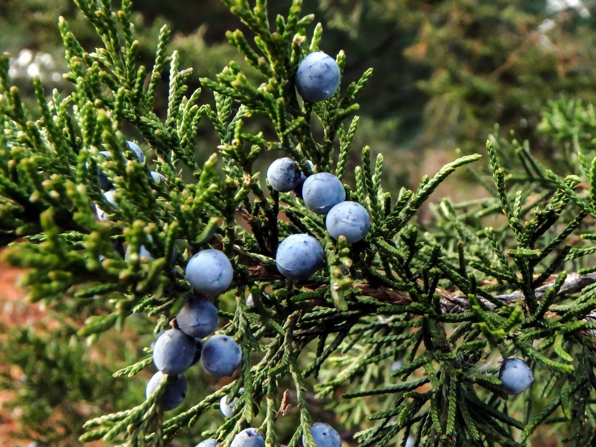 10-juniper-berries