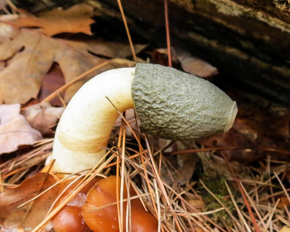 12-common-stinkhorn