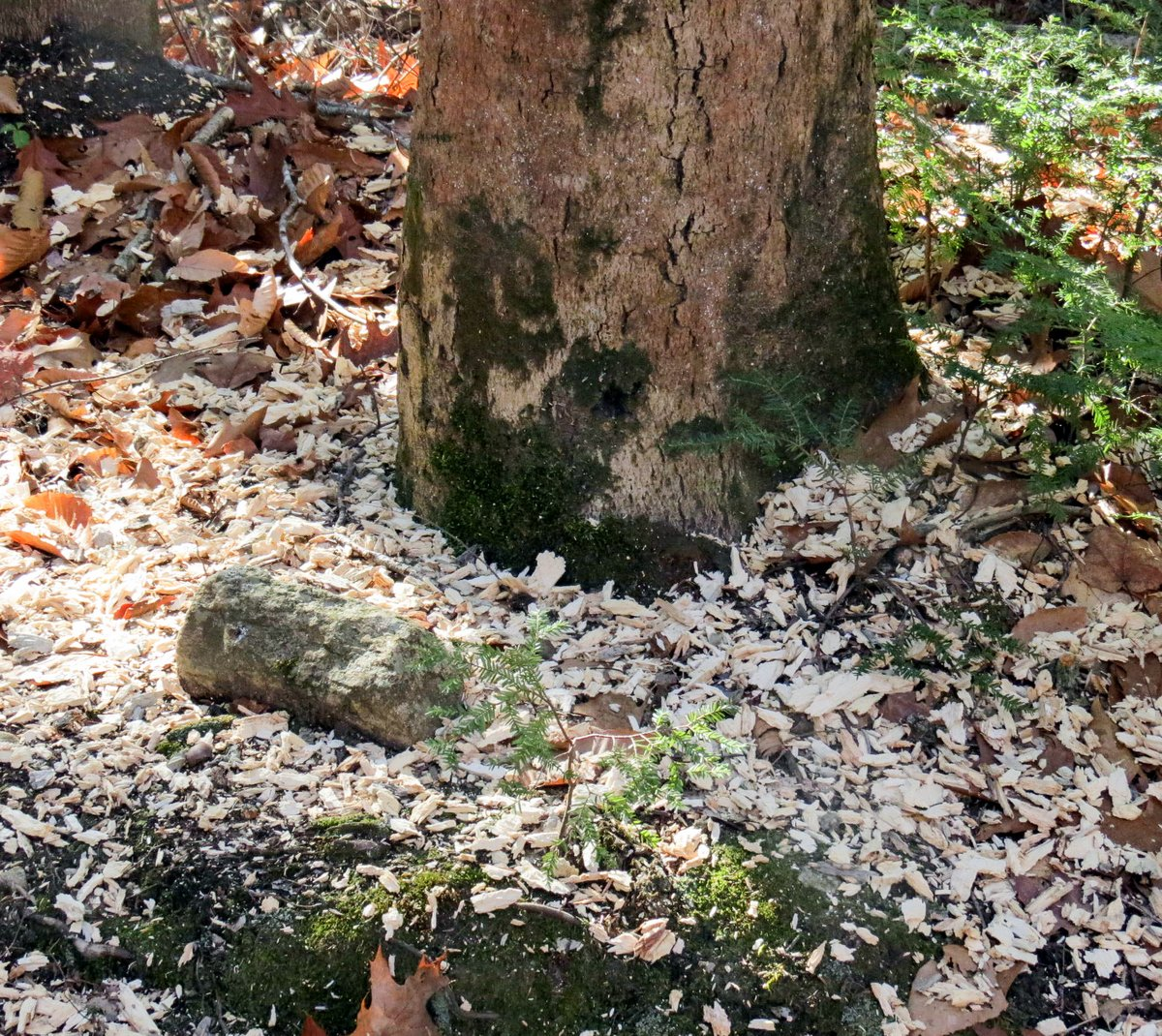 12-wood-chips-from-woodpecker