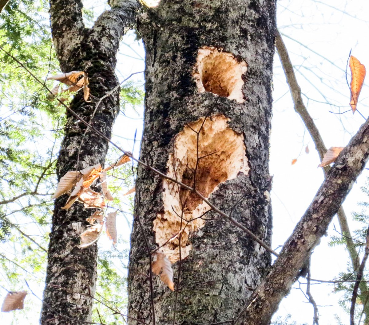 13-pileated-woodpecker-holes