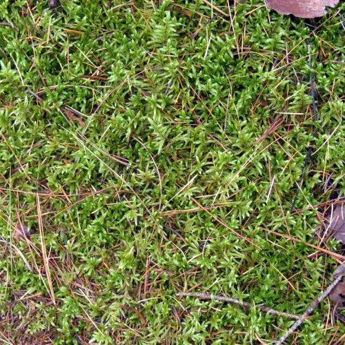 14-big-redstem-moss-pleurozium-schreberi