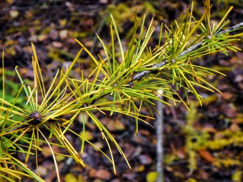 14-larch-branch