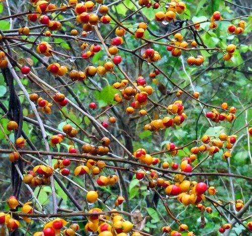 15-bittersweet-berries-2