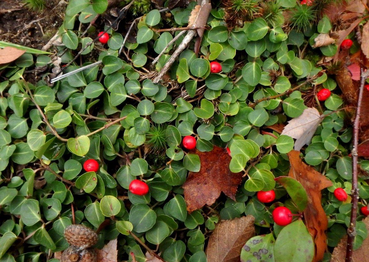 15-partridge-berries