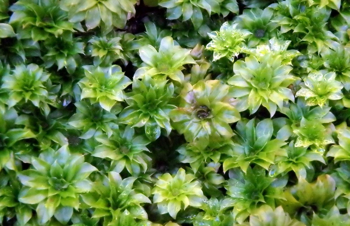 15-rose-moss