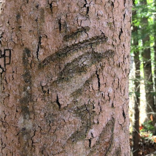 15-scars-on-beech-tree