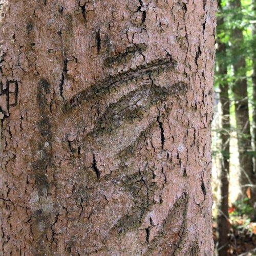 15-scars-on-beech-tree