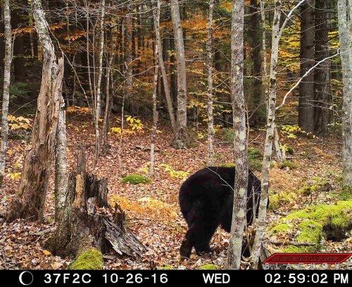 16-black-bear