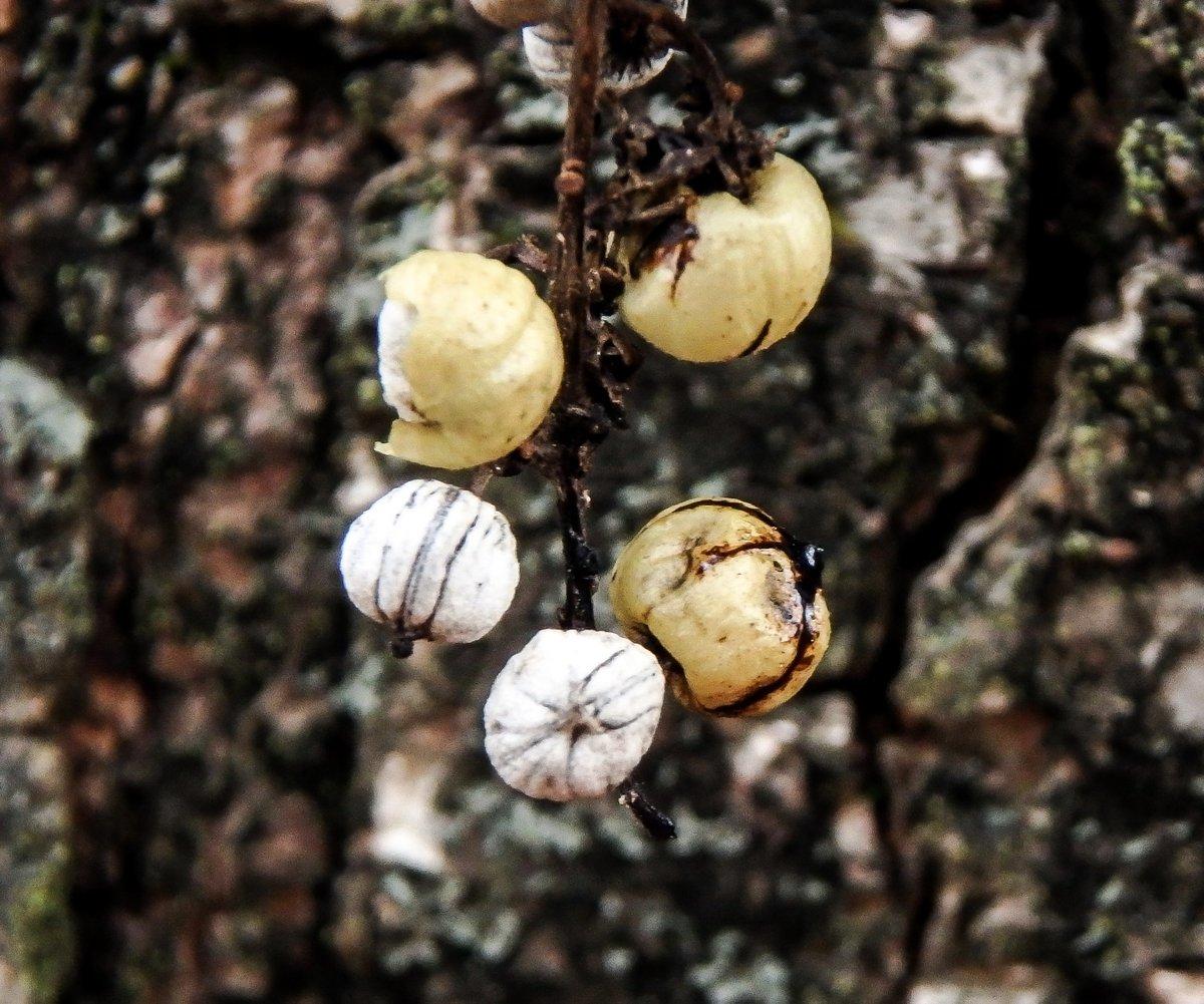 17-poison-ivy-berries-2