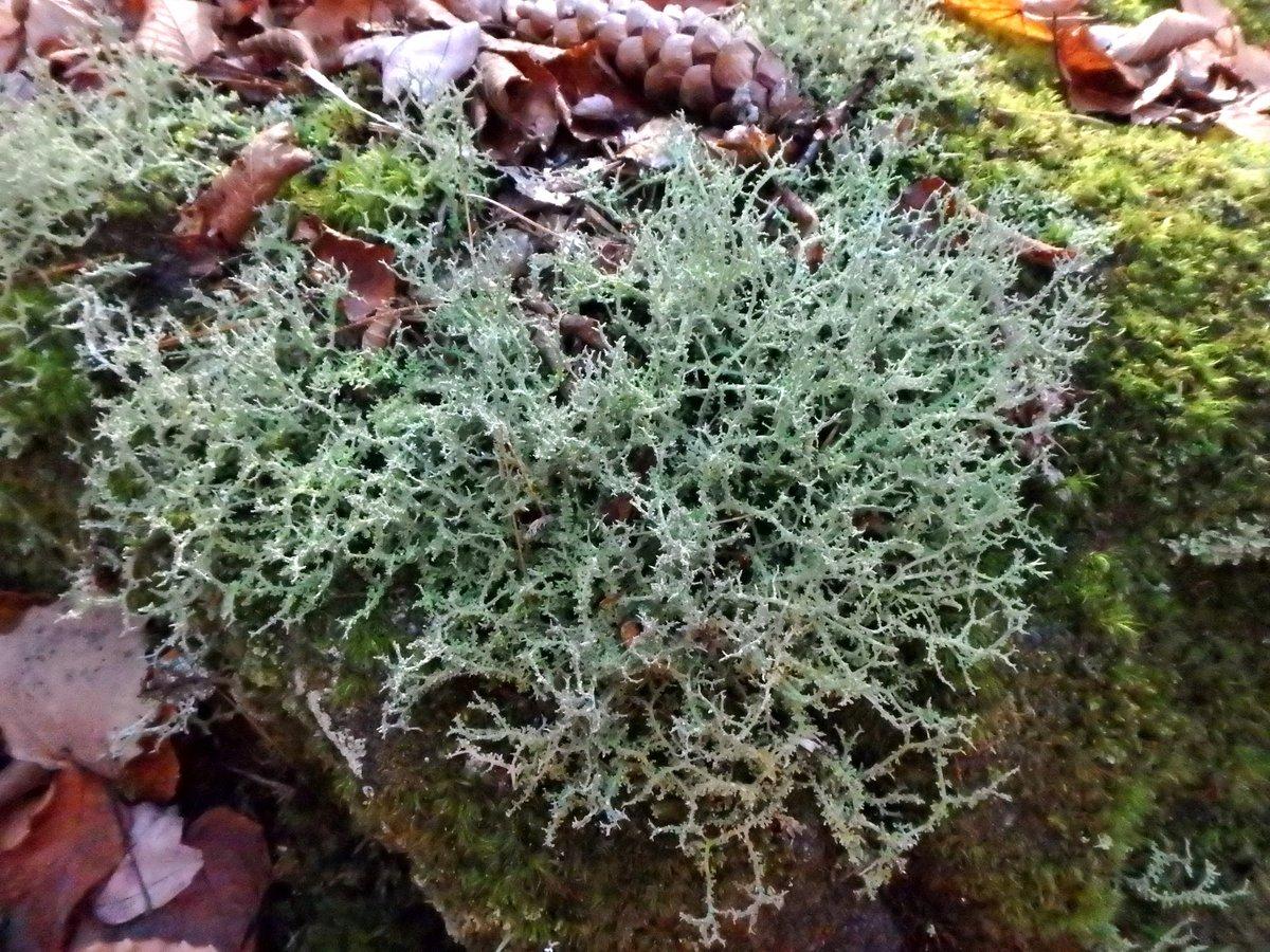 19-cladonia-lichen