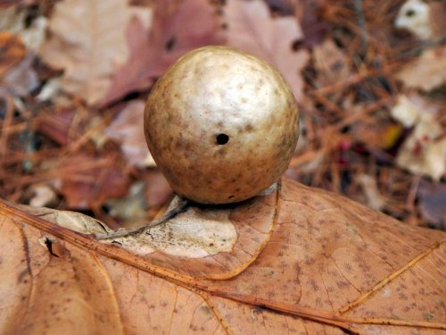 19-oak-apple-gall
