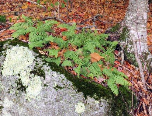 23-polypody-ferns