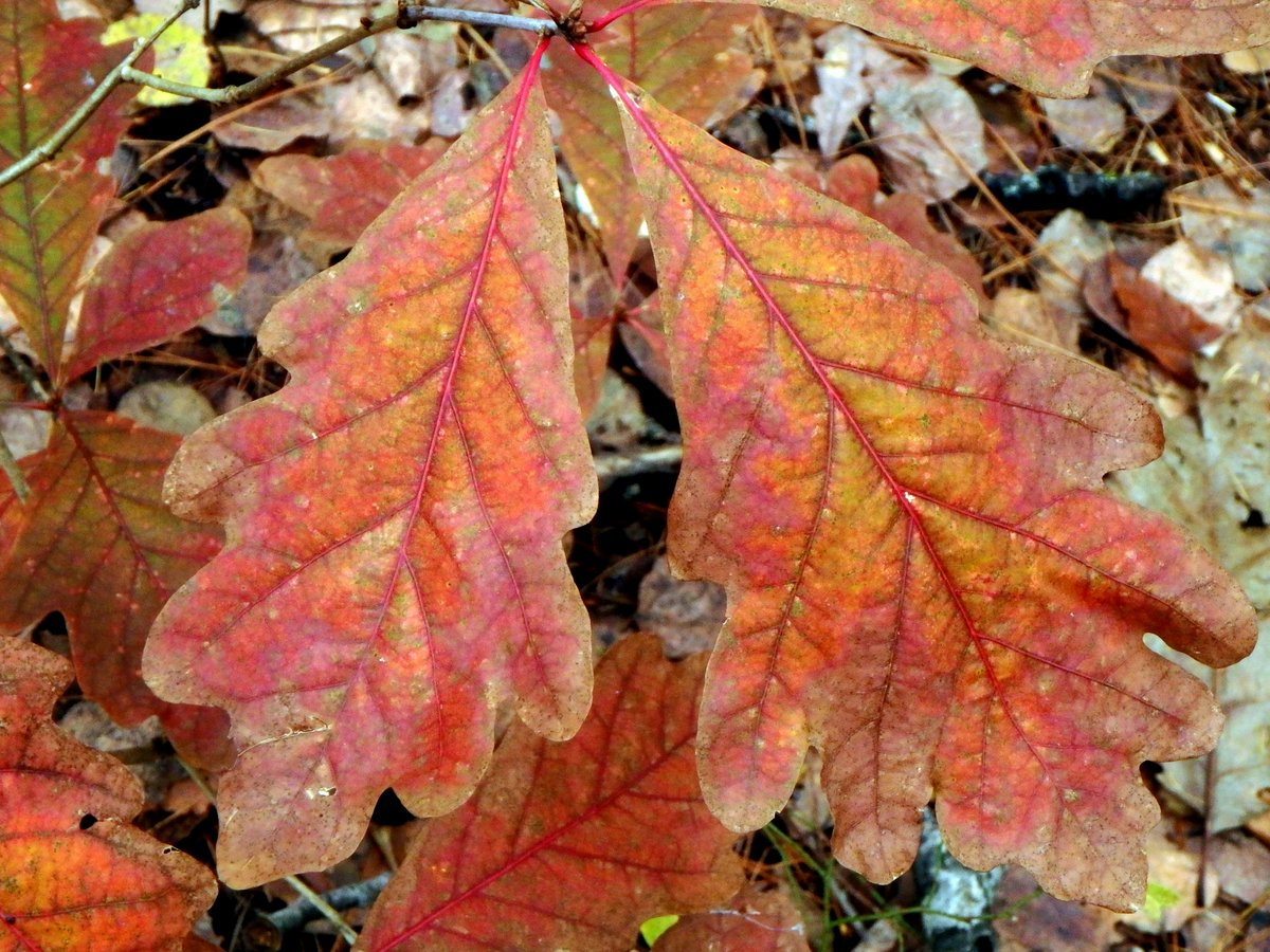 3-oak-leaves