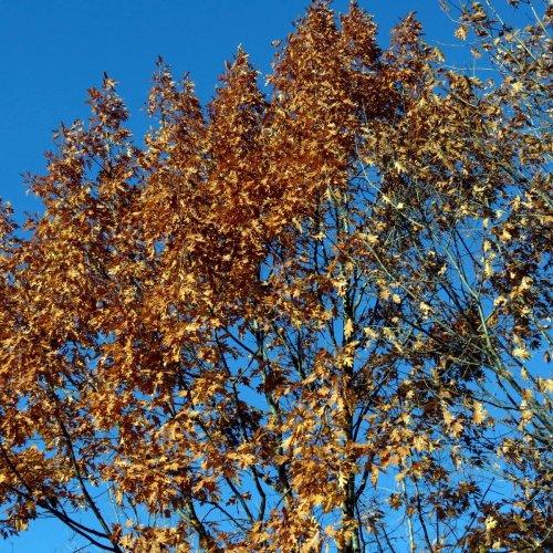 3-oak