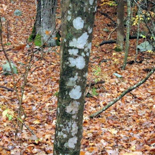 4-lichens-on-tree