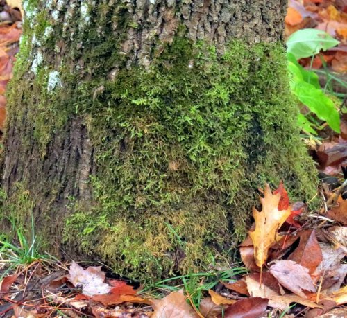 4-rambling-tail-moss