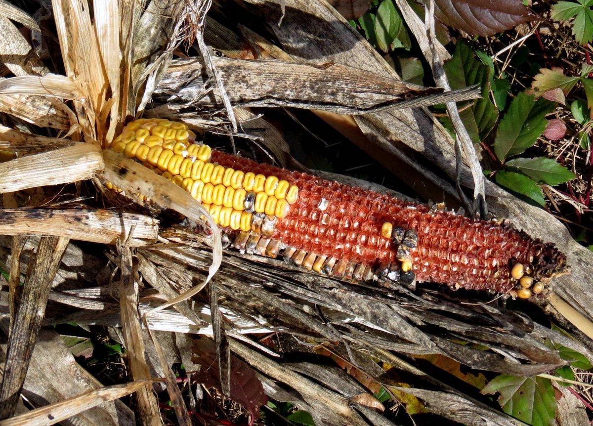 6-corn