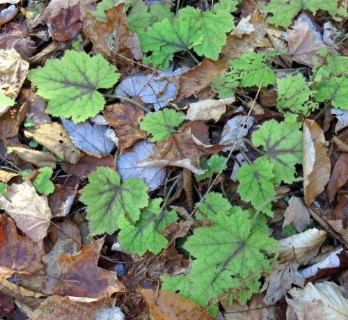 6-foamflower-leaves