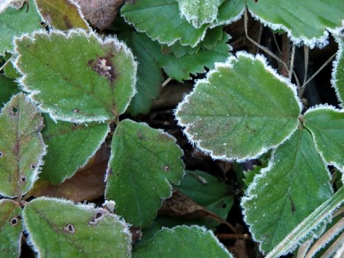 6-frosted-strawberry-leaves