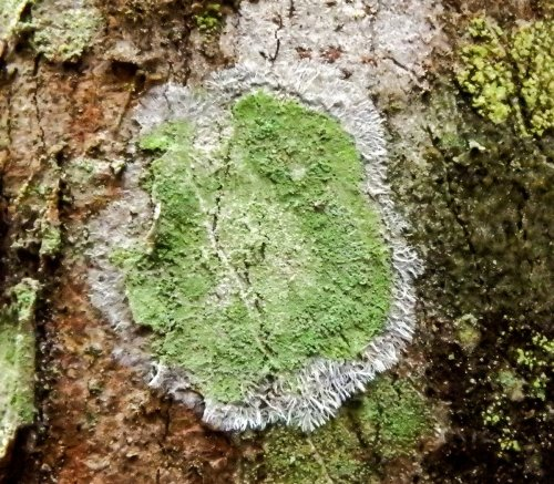 6-maple-dust-lichen