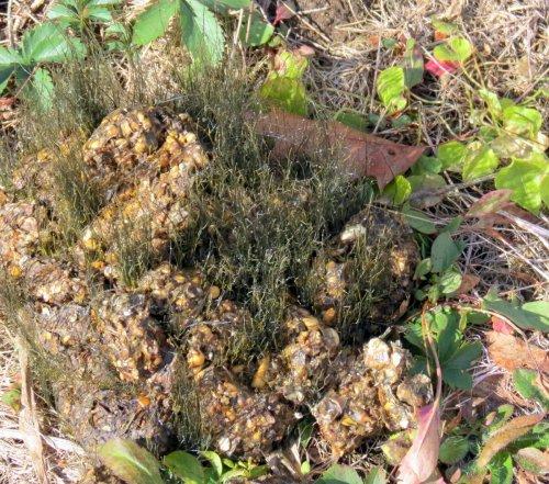 7-fungus-on-bear-scat