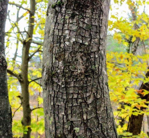7-target-canker-on-red-maple