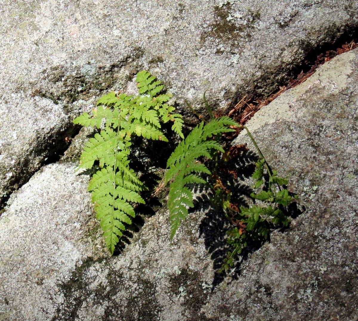 8-fern-on-stone