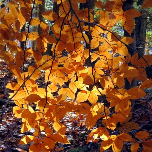 9-beech-leaves