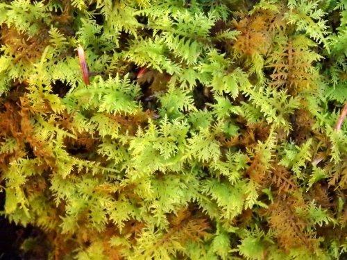 9-delicate-fern-moss
