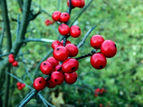 9-winterberries