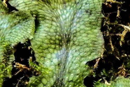 11-liverwort-close