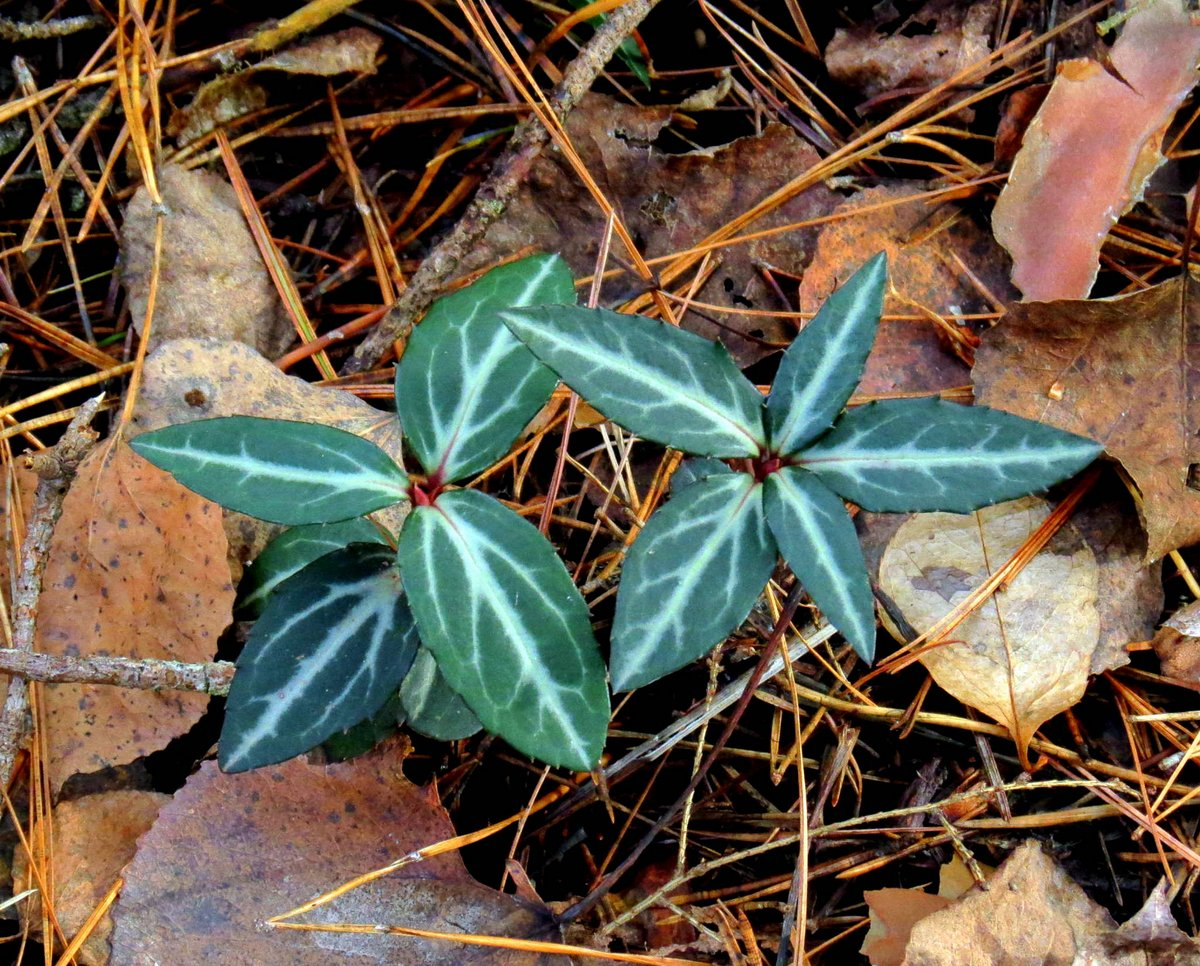 11-striped-wintergreen