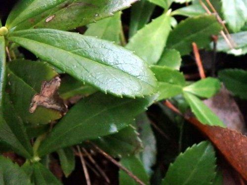 14-pipsissewa-leaf