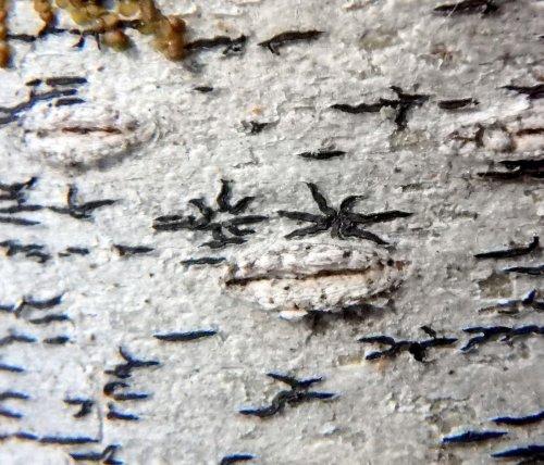 14-script-lichens