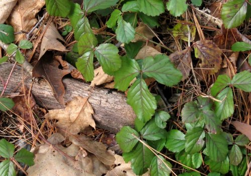 17-swamp-dewberry