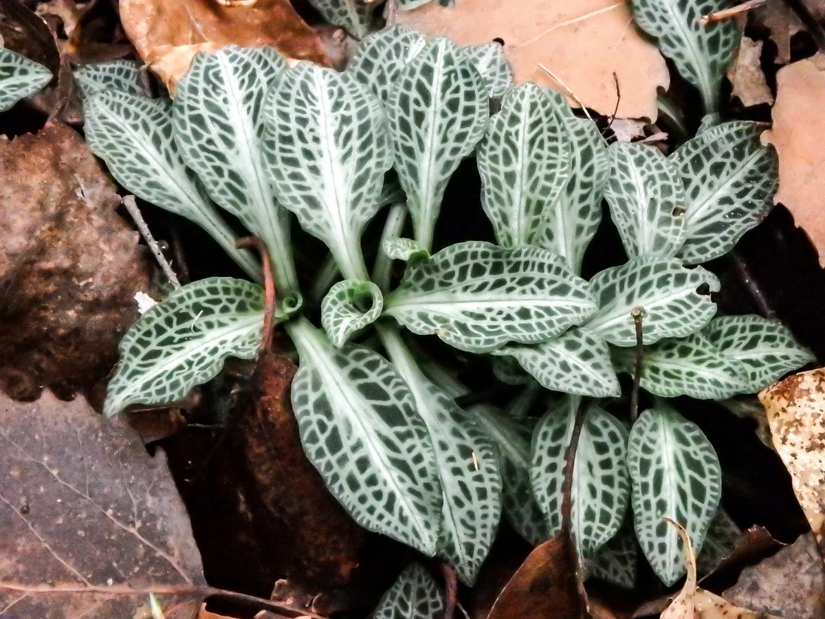 19-downy-rattlesnake-plantain