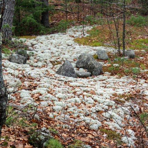 2-reindeer-lichen