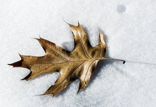 20-oak-leaf