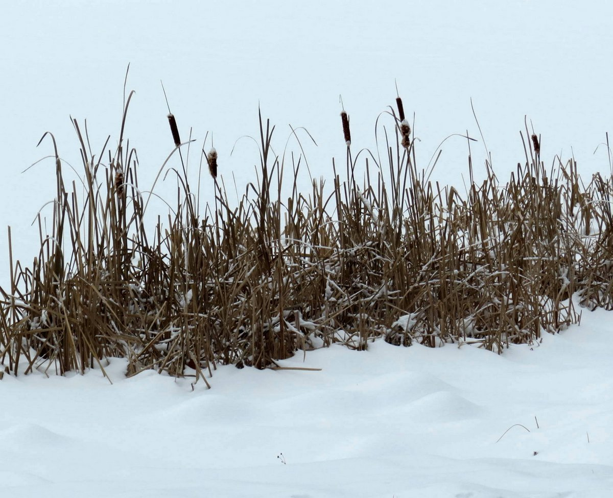 3-cattails